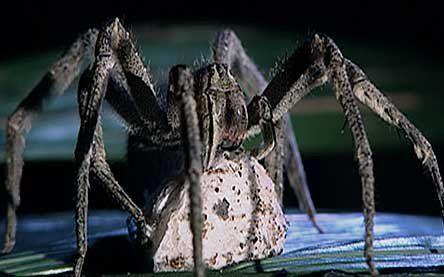 spider bite pictures australia. spider bite symptoms australia